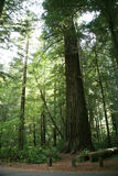 Redwoods Royalty Free Stock Images