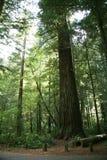 redwoods Στοκ εικόνες με δικαίωμα ελεύθερης χρήσης