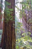 redwoods Stock Foto
