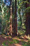 redwoods Foto de Stock Royalty Free