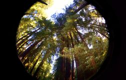 redwoods Obrazy Stock