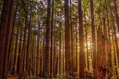 redwoods Royalty-vrije Stock Afbeelding