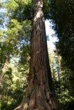 redwoods Стоковая Фотография