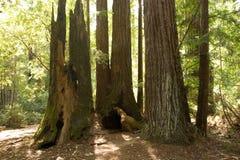 Redwoods Fotografie Stock Libere da Diritti