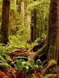 redwoods Fotografia de Stock