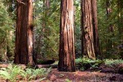 redwoods Stock Foto