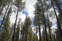 redwoods Στοκ Φωτογραφίες