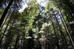 redwoods στοκ εικόνες