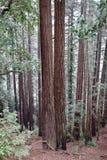 redwoods Obraz Stock