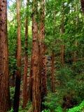 redwoods Стоковые Изображения
