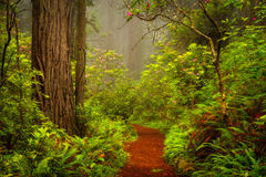 Redwoods And Rhododendrons Along The Damnation Creek Trail In De Stock Images