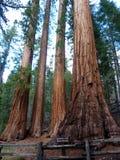 redwoods california Стоковая Фотография