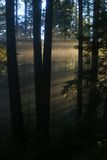 Redwoods Dawn Royalty Free Stock Photo