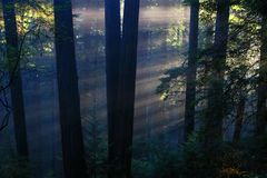 Redwoods Dawn Royalty Free Stock Photos