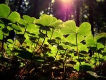 Redwoods de Califórnia Fotografia de Stock Royalty Free