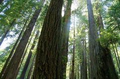 Redwoods de Califórnia Foto de Stock