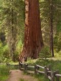 Redwoods del boschetto di Mariposa Fotografia Stock Libera da Diritti