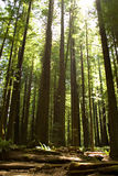 Redwoods di California Immagini Stock Libere da Diritti