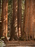Redwoods do bosque de Mariposa Imagem de Stock Royalty Free
