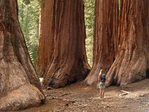 Redwoods do bosque de Mariposa Foto de Stock