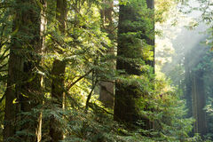 Redwoods on fire Stock Images