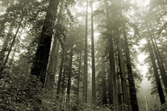 Redwoods in the fog royalty free stock photos