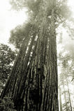 Redwoods in the fog stock images