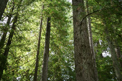 Redwoods Forest Stock Images