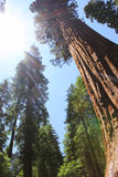 Redwoods forest, America stock images