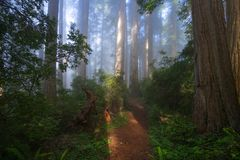 Redwoods Forest in the Morning Stock Image