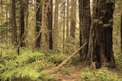 Redwoods forest Royalty Free Stock Photos