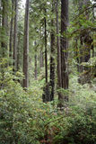 Redwoods forest Royalty Free Stock Photo