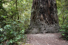 Redwoods forest Royalty Free Stock Image