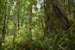 Redwoods forest Stock Image