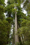 Redwoods forest Stock Photos