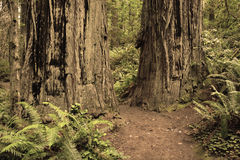 Redwoods forest Royalty Free Stock Photography