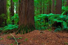 Redwoods Forest in Rotorua royalty free stock photography