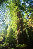 Redwoods Forest Sunlight Royalty Free Stock Image