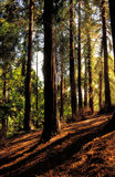 Redwoods on a Hill Stock Image