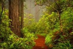 Redwoods i różaneczniki wzdłuż Damnation zatoczki Wlec w De Obrazy Stock