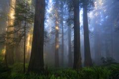 Redwoods Lasowi w ranku zdjęcie royalty free