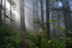 Redwoods Lasowi w ranku fotografia royalty free