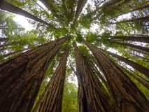 Redwoods Muir drewna fotografia stock