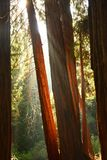 Redwoods in Muir Woods Royalty Free Stock Photography