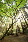 The Redwoods at Muir Woods National Park Royalty Free Stock Photo