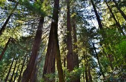 Redwoods in Muir Woods Royalty Free Stock Photos