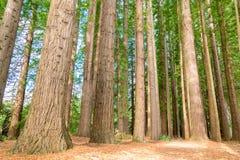Redwoods near the lake Rotorua Stock Images