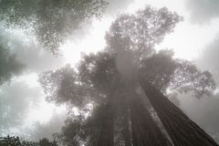 Cloud Seekers, Giant Redwood Trees royalty free stock photo
