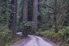 Redwoods, parque nacional do Redwood. fotografia de stock royalty free