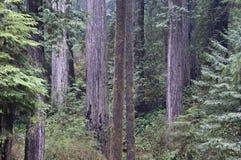 Redwoods, parque nacional do Redwood. imagem de stock
